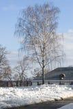 Abedul en invierno Fotografía de archivo