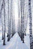 Abedul en invierno Fotos de archivo