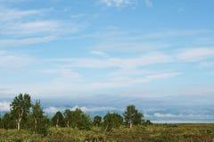 Abedul en Kamchatka Imagenes de archivo