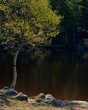Abedul en la costa del lago Foto de archivo libre de regalías