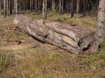Abedul en la madera una Imagen de archivo