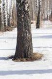 Abedul en la naturaleza en invierno Fotos de archivo libres de regalías