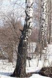 Abedul en la naturaleza en invierno Imágenes de archivo libres de regalías
