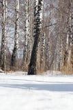 Abedul en la naturaleza en invierno Fotografía de archivo libre de regalías