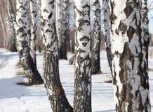 Abedul en la naturaleza en invierno Fotos de archivo