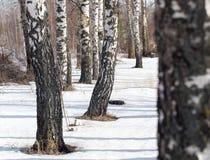 Abedul en la naturaleza en invierno Imagen de archivo