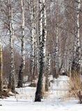 Abedul en la naturaleza en invierno Foto de archivo libre de regalías