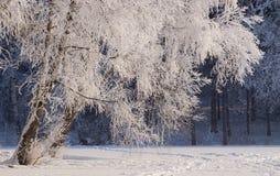 Abedul en la nieve Fotos de archivo libres de regalías