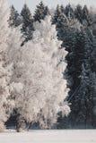 Abedul en la nieve Imagenes de archivo