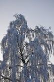 Abedul en la nieve Imagen de archivo libre de regalías