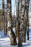 Abedul en la nieve Fotos de archivo