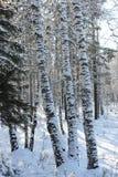 Abedul en la nieve Fotografía de archivo