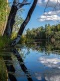 Abedul en la orilla de un lago cubierto con fango fotografía de archivo libre de regalías