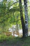 Abedul en la orilla del lago Fotos de archivo