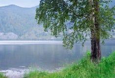 Abedul en la orilla del río Fotos de archivo libres de regalías
