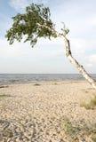 Abedul en la playa. Foto de archivo