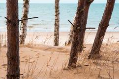 Abedul en la playa Fotos de archivo