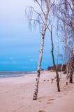 Abedul en la playa Fotografía de archivo