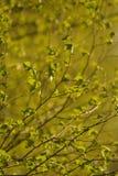 Abedul en la primavera Fotografía de archivo libre de regalías