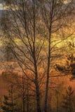 Abedul en la primavera temprana Imagen de archivo libre de regalías
