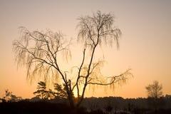 Abedul en la salida del sol Fotografía de archivo libre de regalías