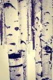 Abedul en nieve del invierno Fotografía de archivo libre de regalías