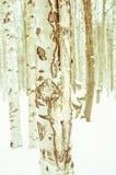 Abedul en nieve del invierno Foto de archivo