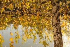 Abedul en orilla del lago Imagen de archivo libre de regalías