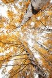 Abedul en otoño Fotos de archivo