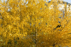 Abedul en otoño Imagen de archivo