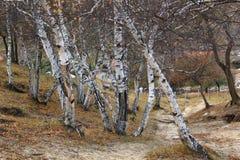 Abedul en otoño Imagen de archivo libre de regalías