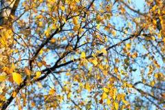 Abedul en otoño, primer Imagen de archivo