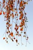 Abedul en otoño, primer Fotografía de archivo libre de regalías