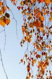 Abedul en otoño, primer Foto de archivo libre de regalías
