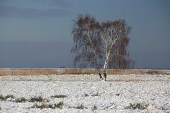 Abedul en paisaje del invierno Imágenes de archivo libres de regalías