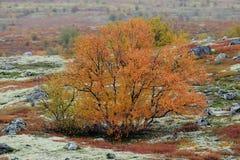 Abedul en paisaje del otoño Imagen de archivo libre de regalías