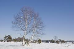 Abedul en paramera en invierno Imágenes de archivo libres de regalías