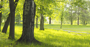 Abedul en parque en día soleado del verano Imágenes de archivo libres de regalías