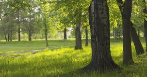 Abedul en parque en día soleado del verano Fotografía de archivo