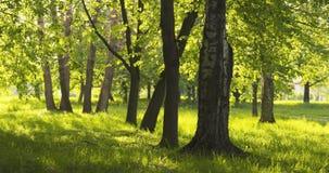 Abedul en parque en día soleado del verano Imagen de archivo libre de regalías