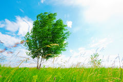 Abedul en prado verde Foto de archivo libre de regalías