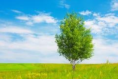 Abedul en prado verde Imagenes de archivo