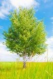 Abedul en prado verde Imágenes de archivo libres de regalías