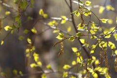 Abedul en primavera Fotos de archivo