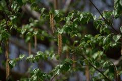 Abedul en primavera en un día soleado con las hojas verdes Imagen de archivo