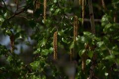 Abedul en primavera en un día soleado con las hojas verdes Foto de archivo