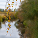 Abedul en primero plano y río del otoño en fondo Imágenes de archivo libres de regalías