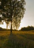 Abedul en puesta del sol Imagen de archivo libre de regalías