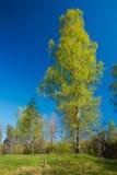 Abedul en un bosque. Imagen de archivo libre de regalías