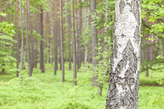 Abedul en un bosque Imágenes de archivo libres de regalías